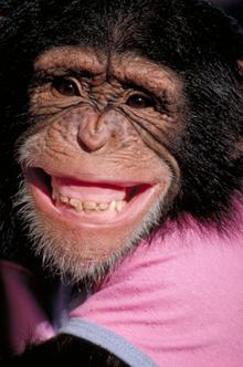 Chimp_2